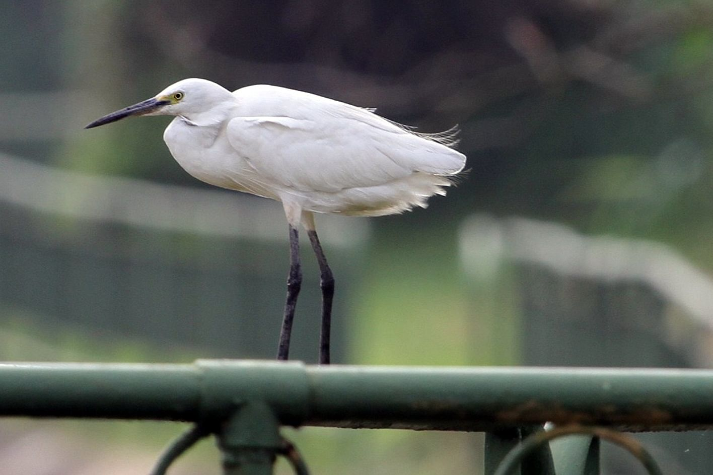 In Pictures 10 Most Common Birds In Singapore Environment News
