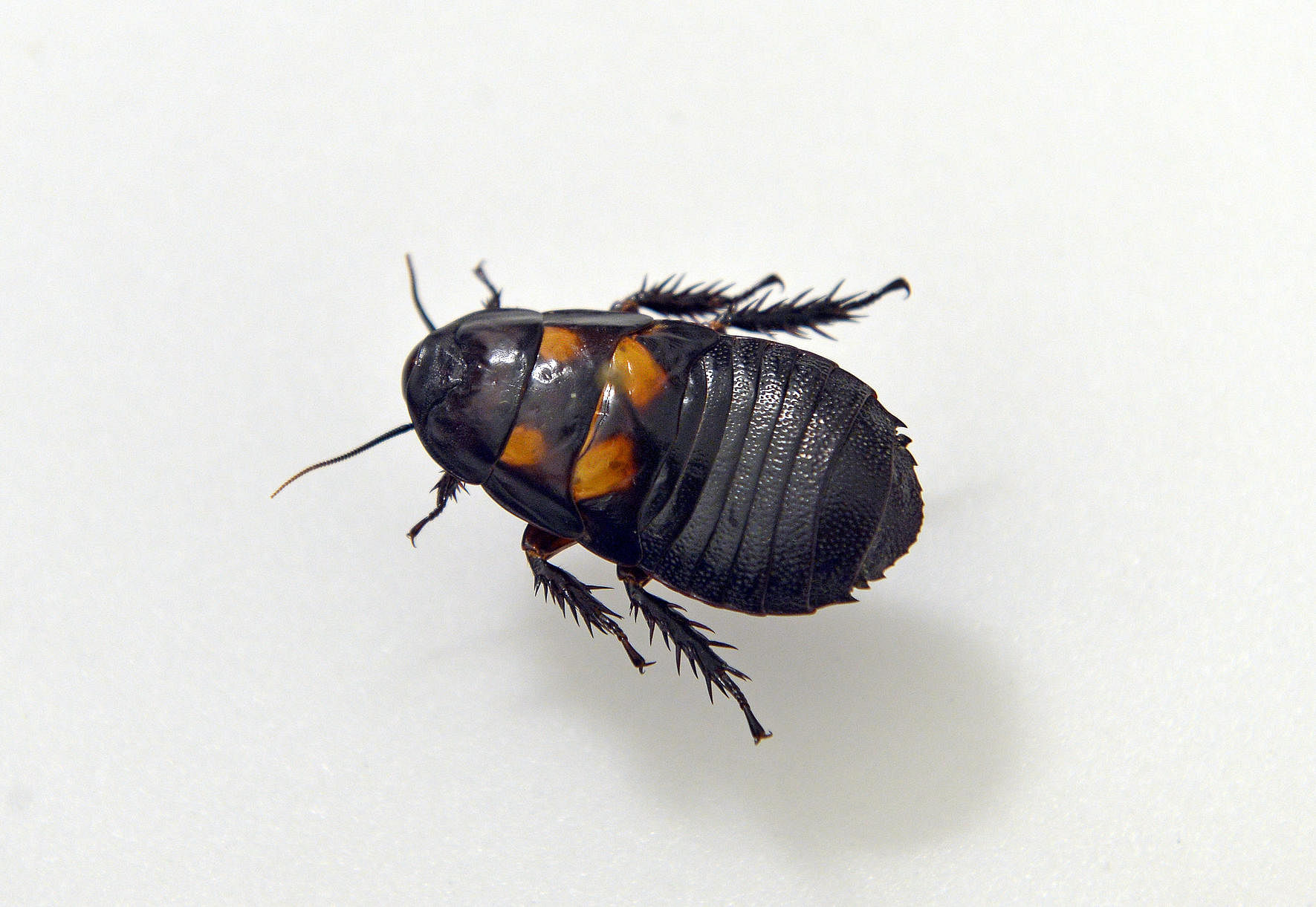 Four species of cockroaches found in Singapore, Environment News ...