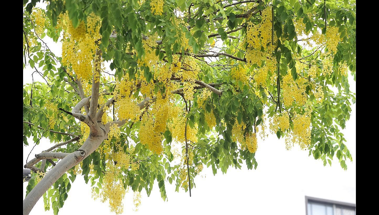Flowering Trees Around Singapore Wow Many Home Design News Top