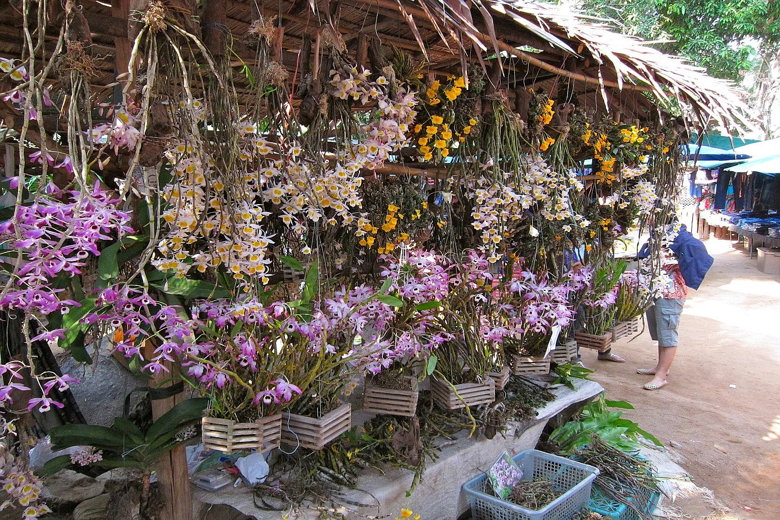 S-E Asia's blooming black market trade in wild orchids