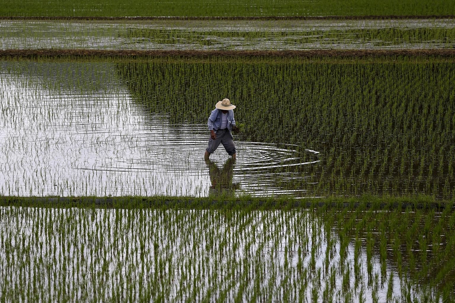 """A farmer planting saplings in a rice field in Kagoshima prefecture, Japan. The TPP is now poised to free up trade in 40 per cent of the world economy. Arguably, it would also bolster Washington's much-touted """"pivot"""" or """"rebalance"""" to the Asia-Pacific"""