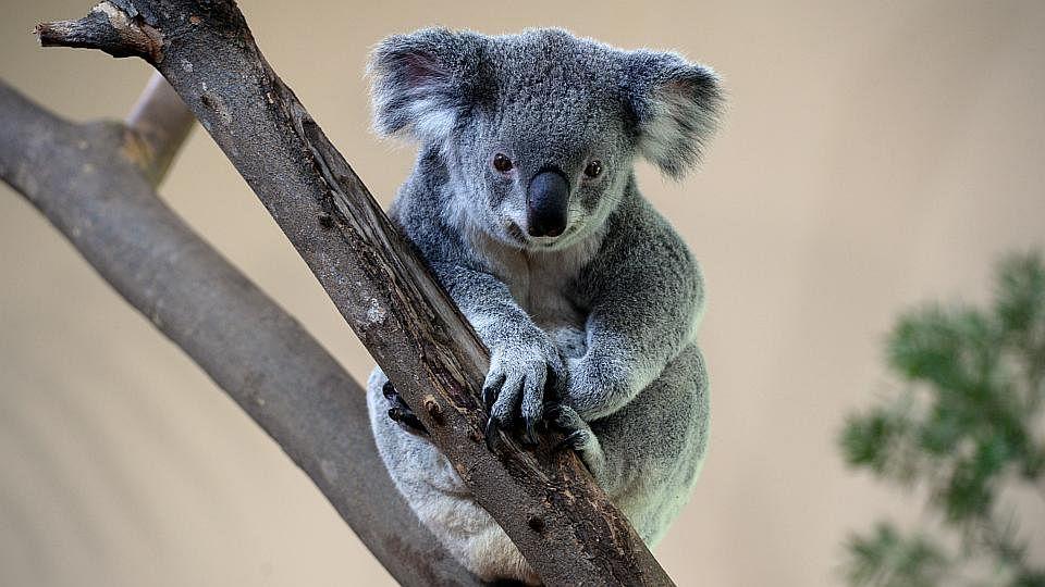 KoalaManiaFour200515