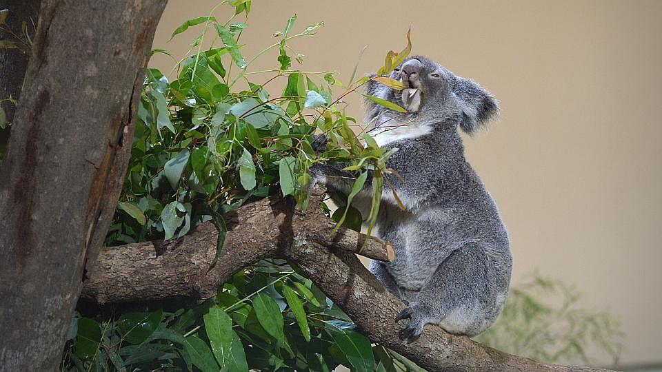 KoalaManiaSix200515