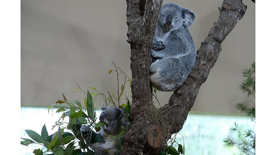 KoalaManiaTen200515