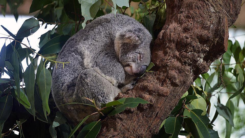 KoalaSnooze200515