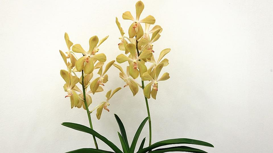 Embed orchids1 2403