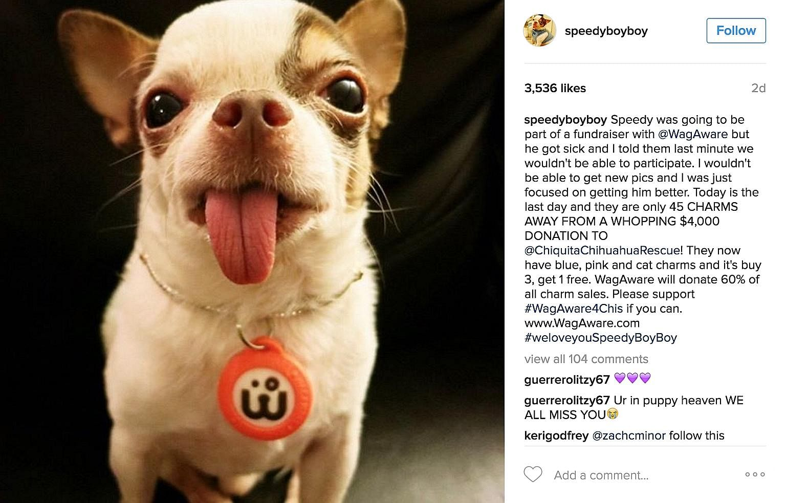 A crowd-funder set up to help pay for Speedy Boy Boy's medical bills reached its goal in less than 24 hours. But just over a week ago, the chihuahua died. Roux (above) is a cat born without front legs. Her Instagram account has close to 400,000 follo