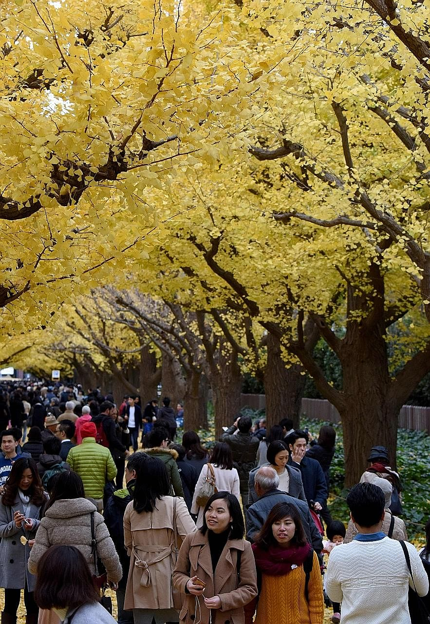 """The leaves of maidenhair trees in Tokyo have changed from green to a vibrant yellow that is part of the autumn colours in Japan. The trees, also known as ginkgo trees, are sometimes described as """"living fossils"""" as they have not changed for more than"""