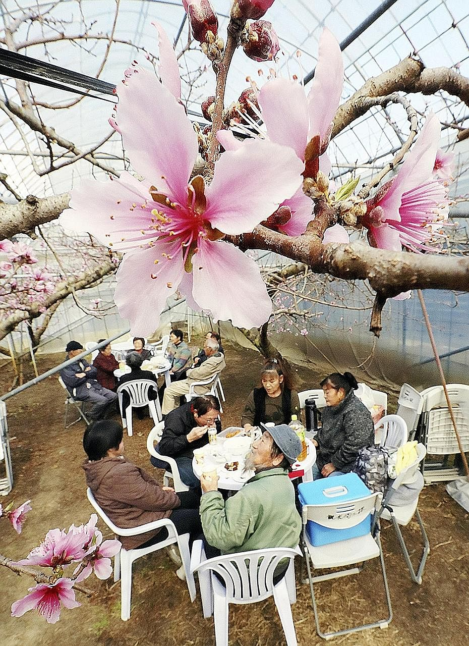 People relaxing amid peach blossoms this week at a greenhouse in Fuefuki, a city known for its peaches, in Yamanashi prefecture. The public can view these peach blossoms at one of the many festivals from early to mid-April, according to the Peach Blo
