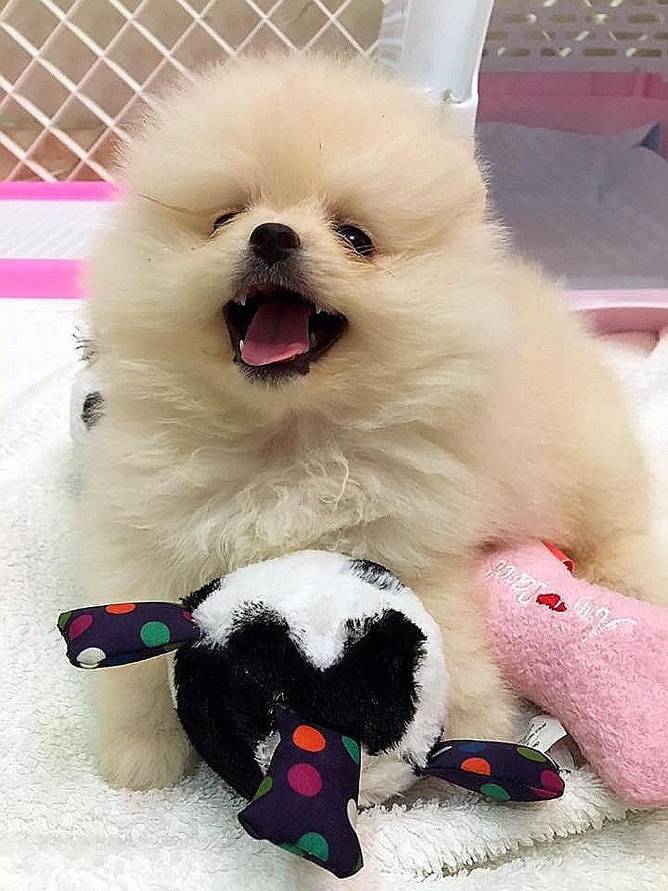 Fatty Paws customer Jorine Lim's puppy, named Mimi, a white pomeranian, died from the canine parvovirus a week after she bought it. She claims it was infected with the disease, spread through dog's faeces, while at the shop. Her Facebook post has bee