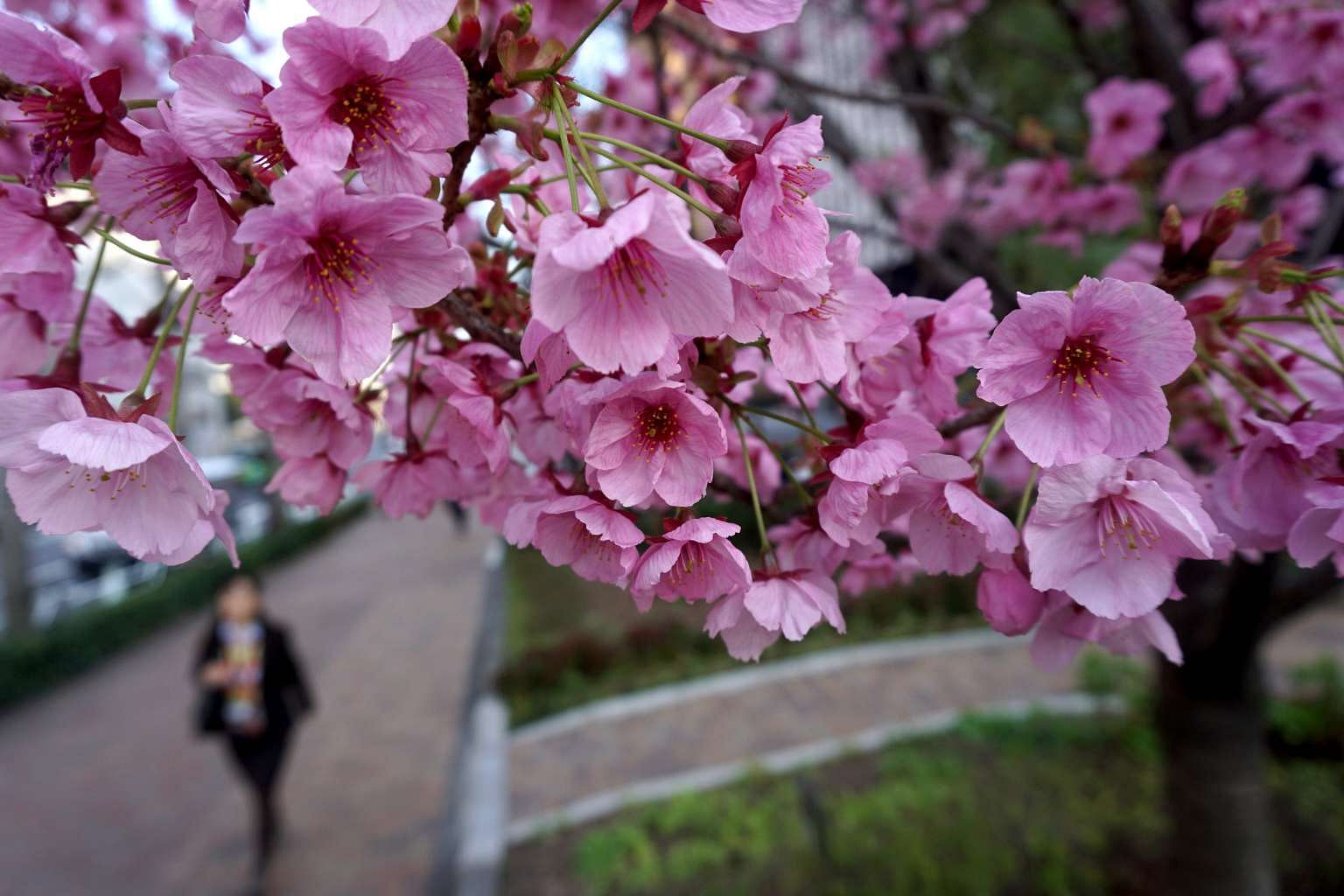 Japan Counts Down To Cherry Blossom Fever East Asia News Top
