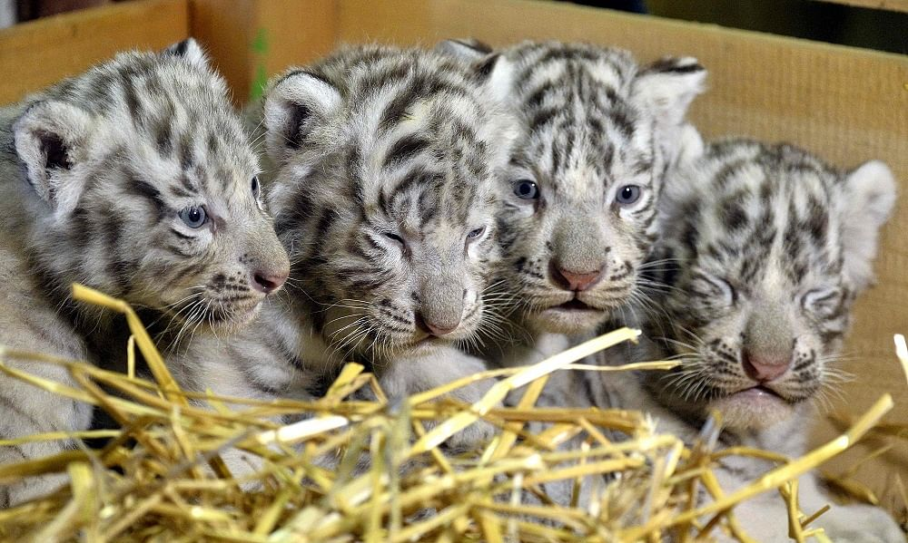 white tiger cubs born in austrian zoo, europe news & top stories
