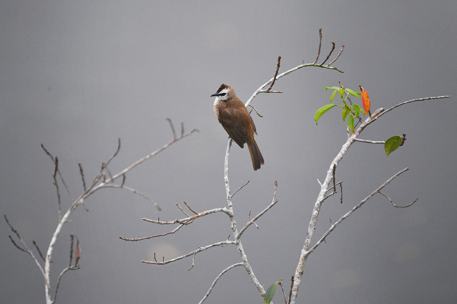 One of the native resident birds commonly sighted at the Sungei Buloh Wetland Reserve is the yellow-vented bulbul (above).