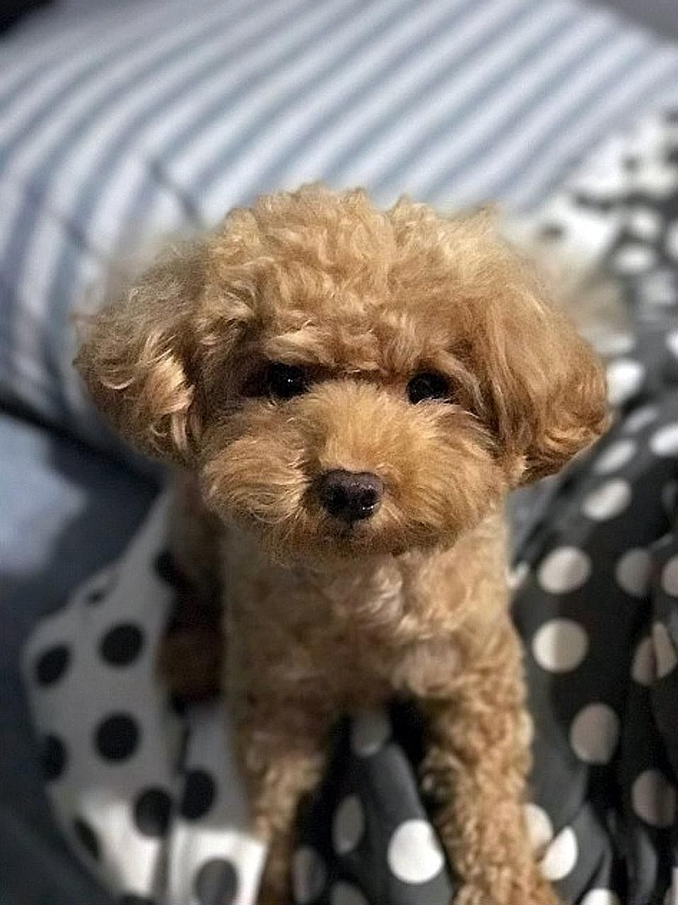 Gerald Kok Zhin Oi allegedly ill-treated the toy poodle between July and December last year. He is accused of hitting it with a cushion and clothes hanger. He also allegedly flung the dog on a bed twice, and it hit the wall the second time.