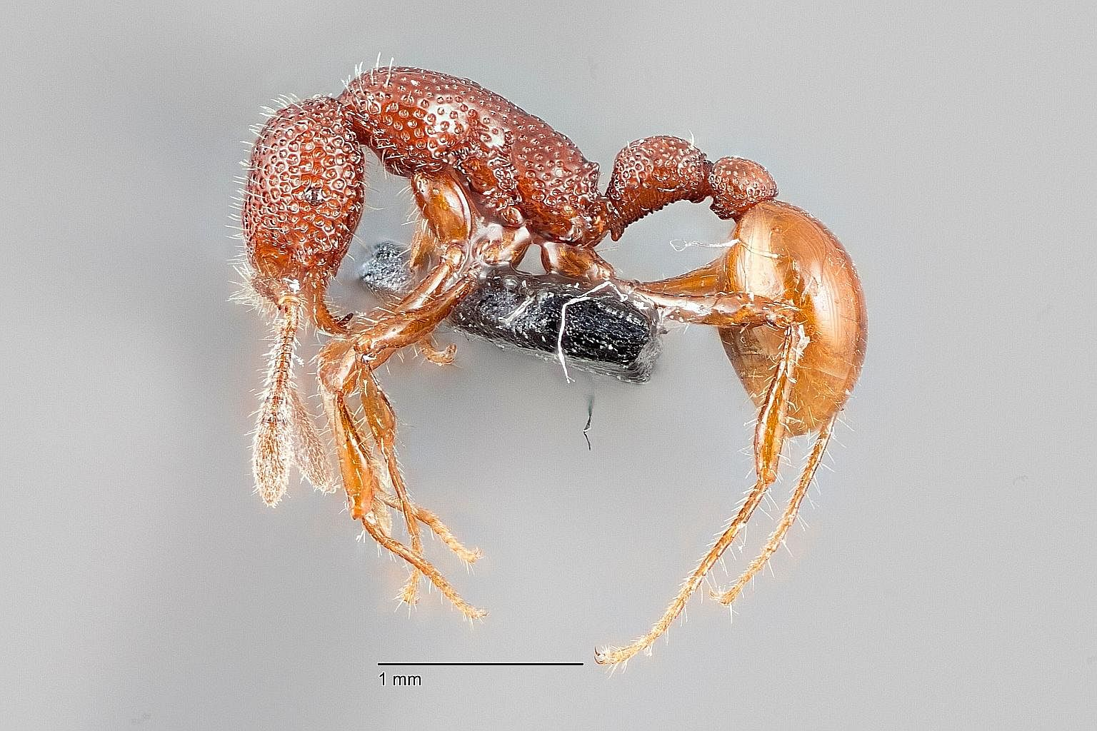 The Johora singaporensis, the Singapore freshwater crab, is not found anywhere else in the world, while the Neptune's cup sponge, thought to be extinct, was rediscovered in local waters in 2011. Research is ongoing in Singapore to help scientists lea