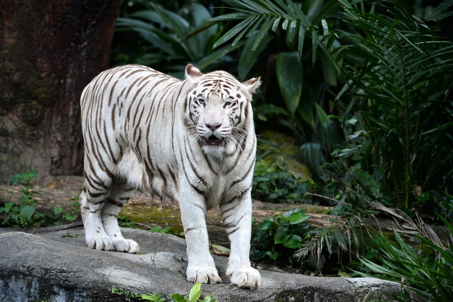 singapore zoos white tiger dies 5 things about omar and