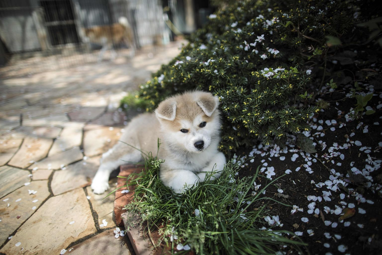 Hachiko: a breed that has received a new name