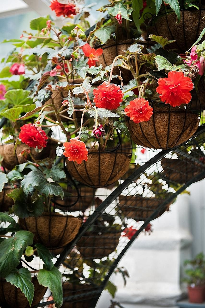 Supersized Begonias In Bloom At Gardens By The Bay Home Design
