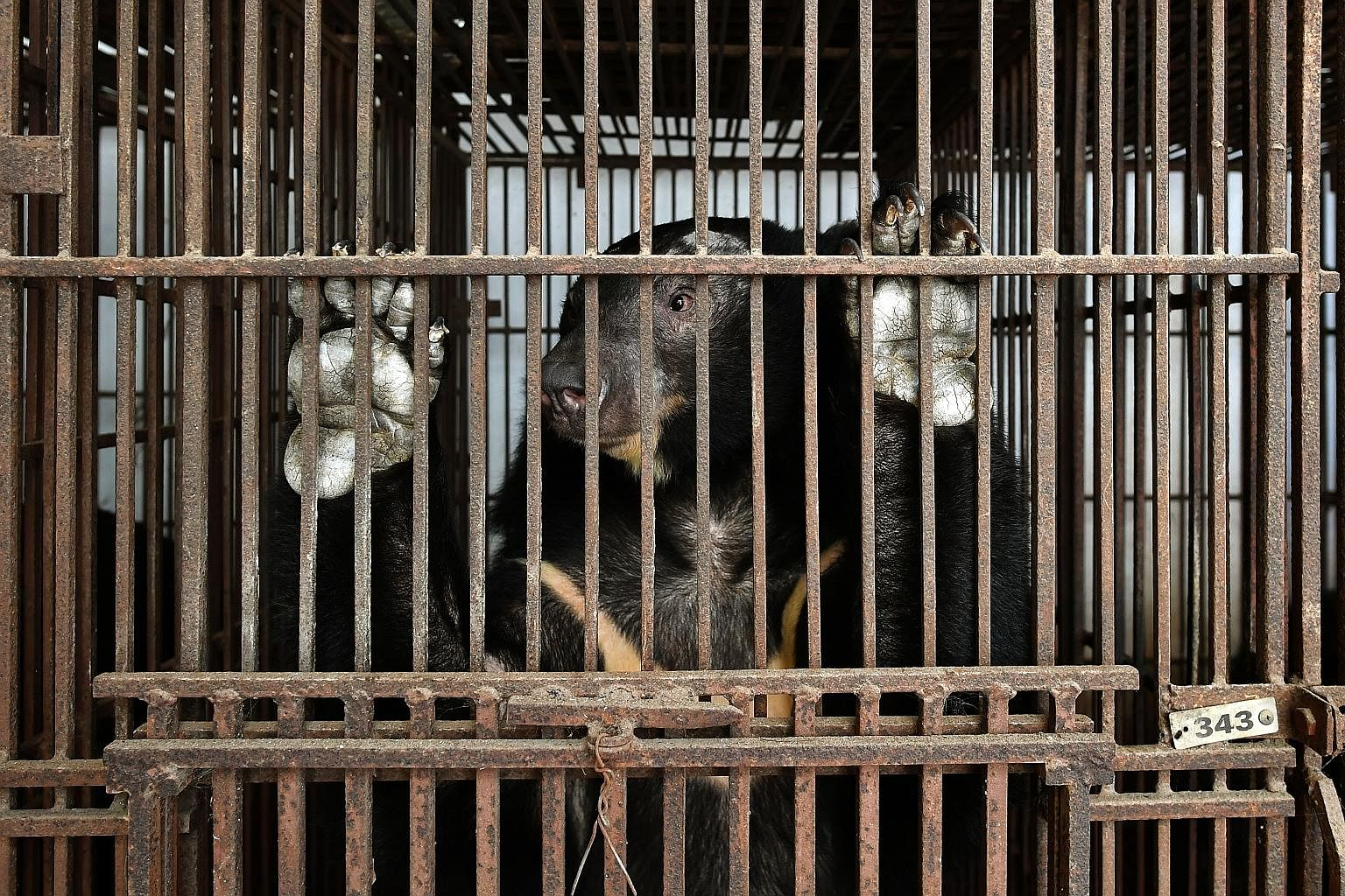 An Asiatic black bear caged in a village in Vietnam, where its bile is believed to help cure joint pains. A short film produced by two ST journalists uncovers the dark underbelly of South-east Asia's illegal wildlife trade.