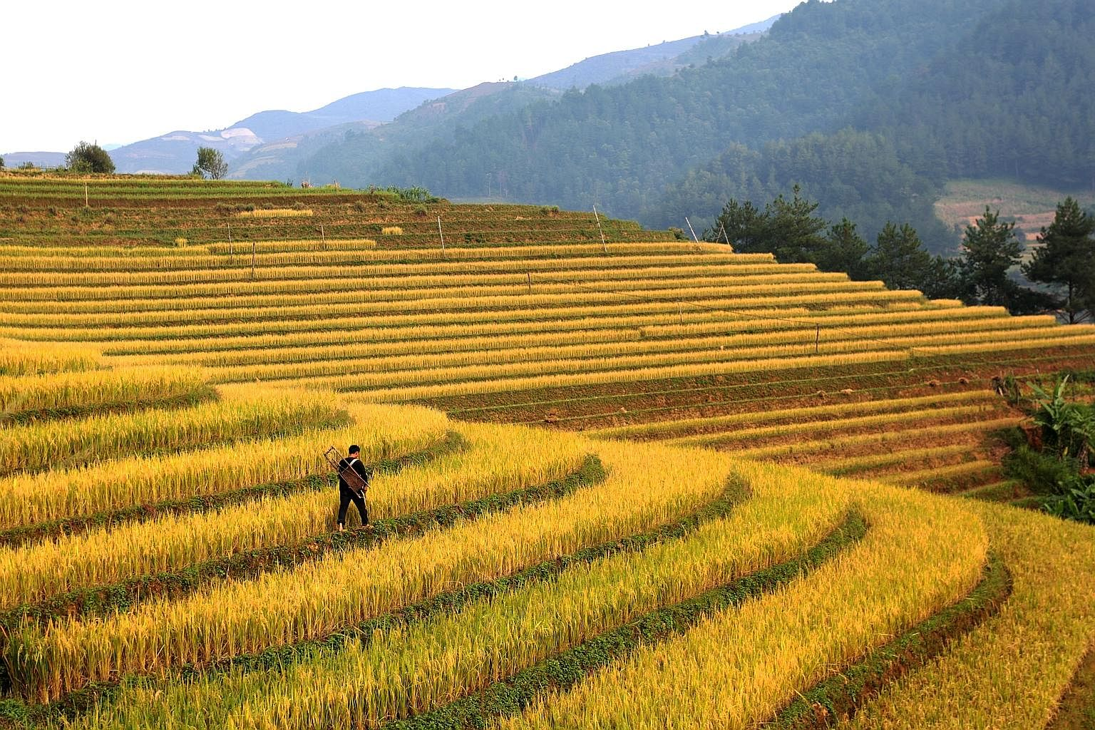 Rice fields in Vietnam's northern agricultural province of Yen Bai. Wild swings in the