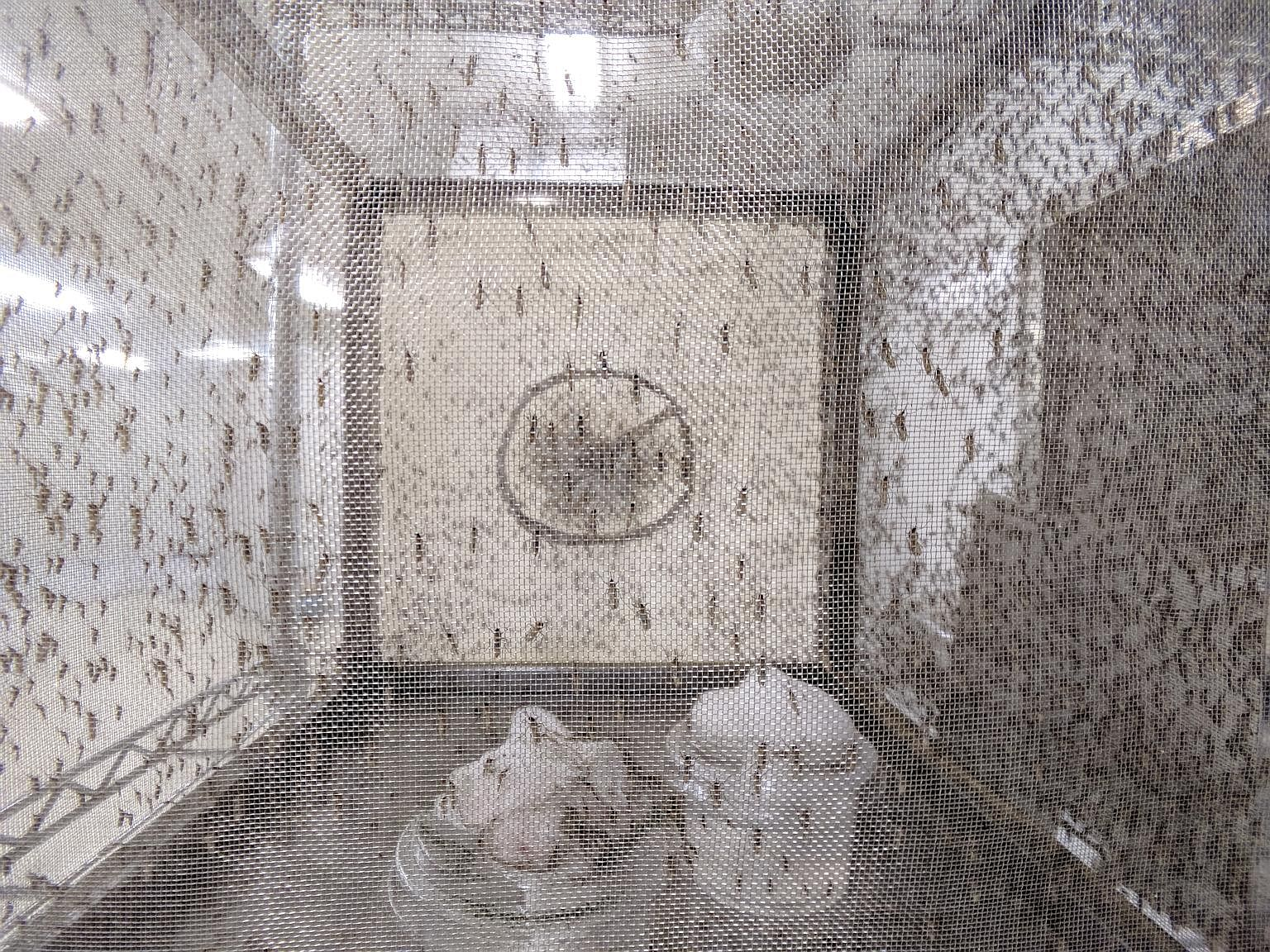 Adult male mosquitoes being freed. The lab's latest innovation involves putting the mosquitoes into cold storage for