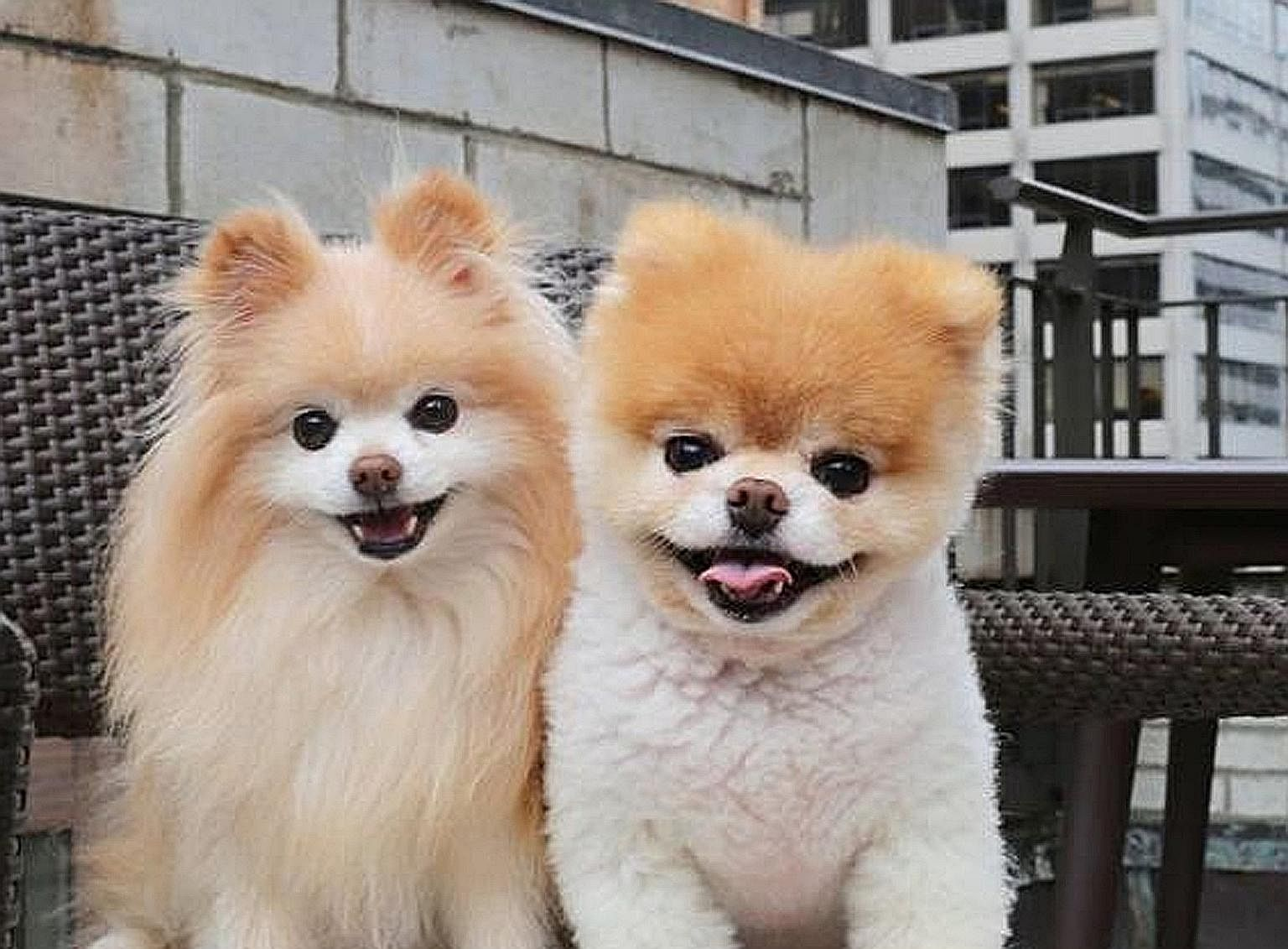 World's cutest dog, Boo, dies of 'heartbreak' at 12, Europe News & Top  Stories - The Straits Times