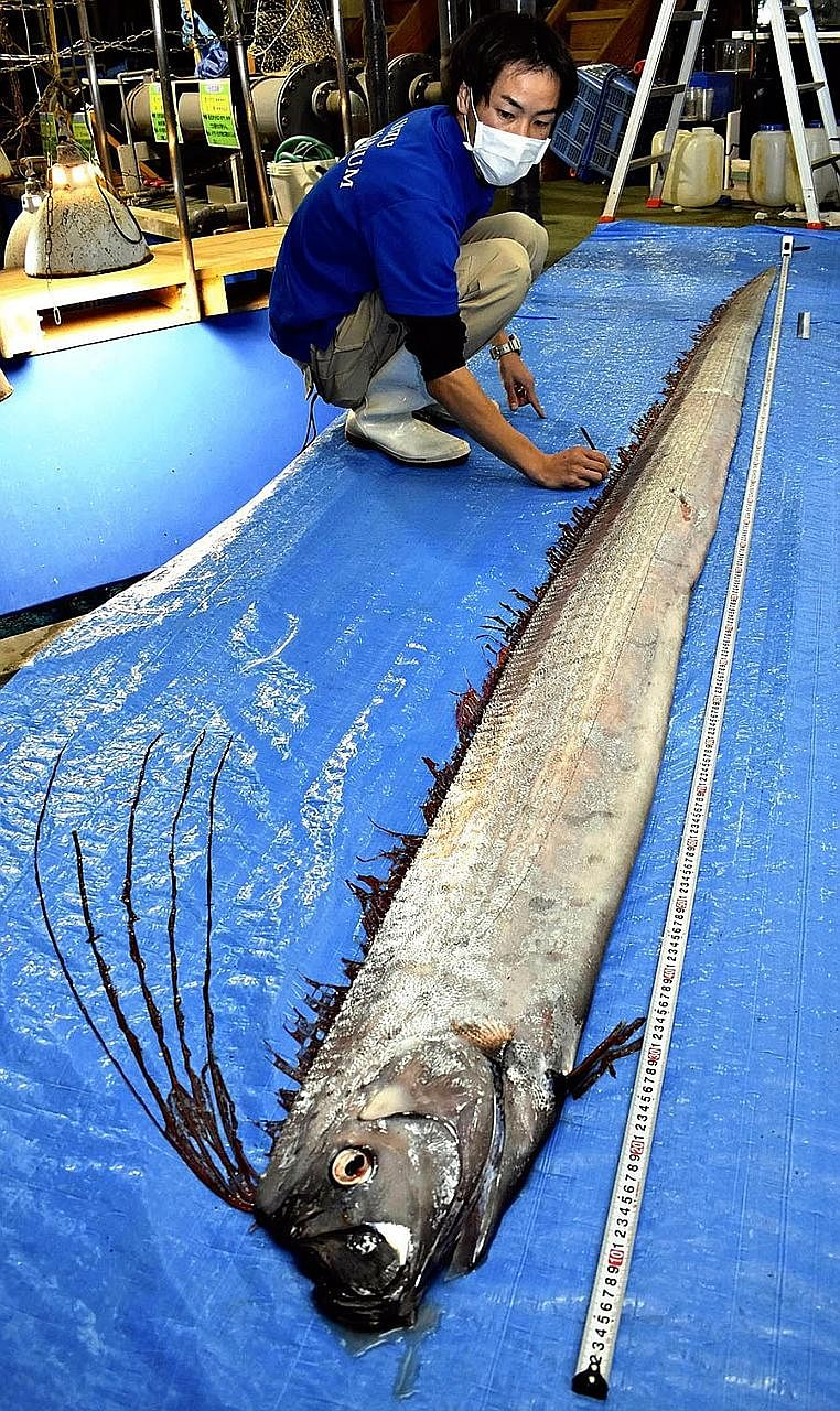 A deep-sea slender oarfish at the Uozu Aquarium in Uozu, Japan.