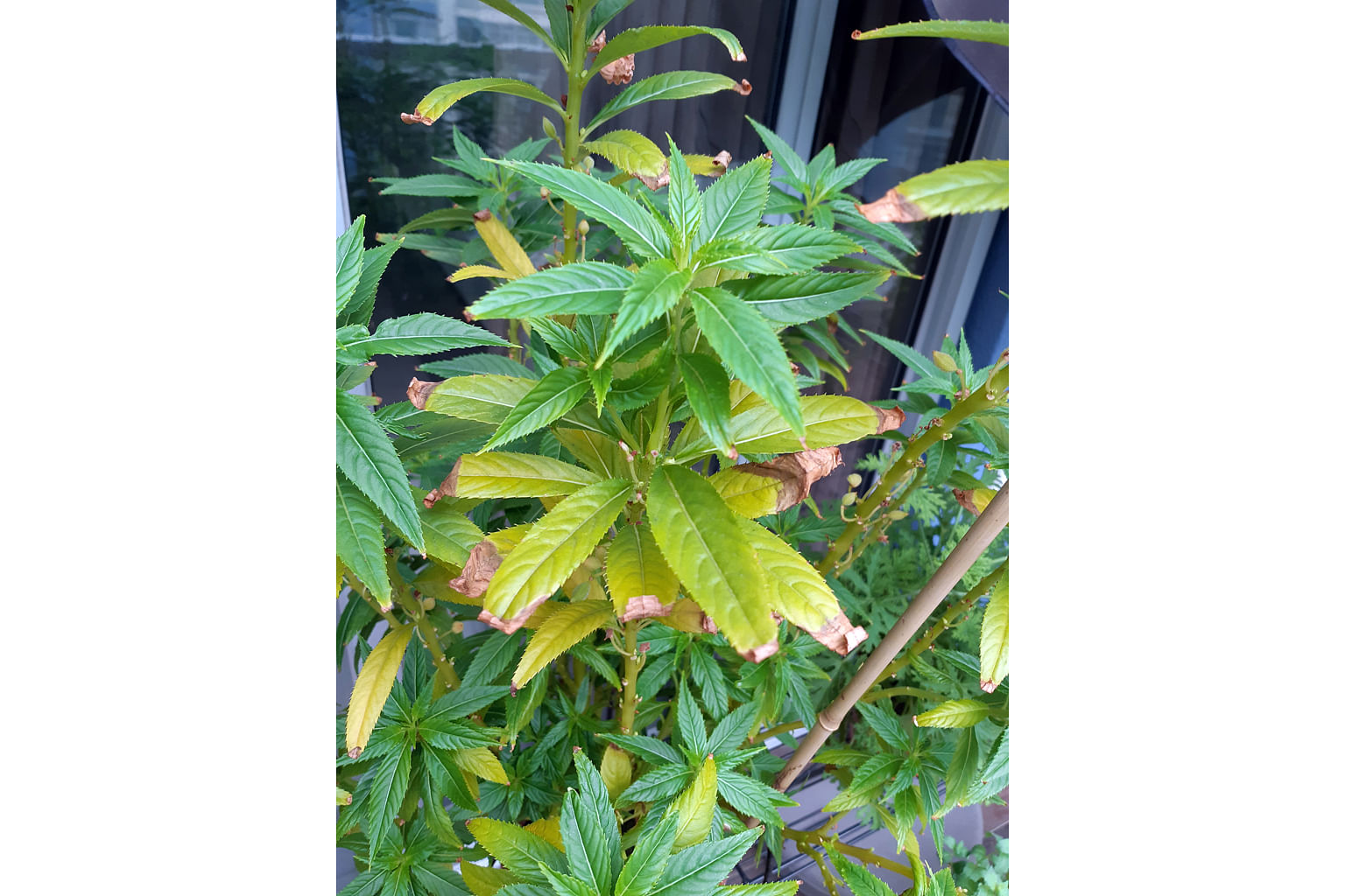 Root Awakening Stressed Balsam Plant May Be Lacking Nutrients And