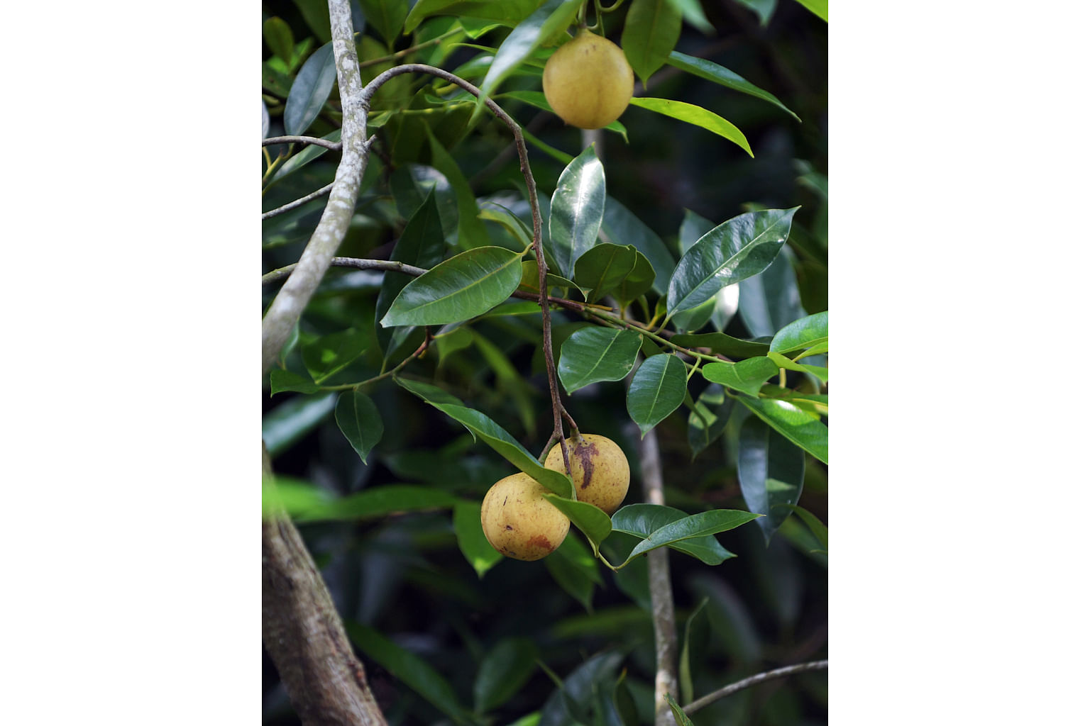 Nutmeg was a major spice crop in Singapore in the 1840s before disease destroyed plantations in the 1860s. But three trees at the gardens, each over 100 years old, have thrived. In the 1800s, the area around Orchard Road was occupied by n