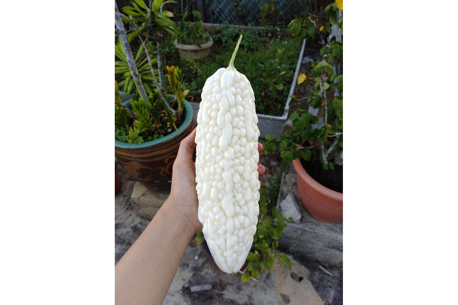The produce at Pacific Agro Farm includes white bittergourd.