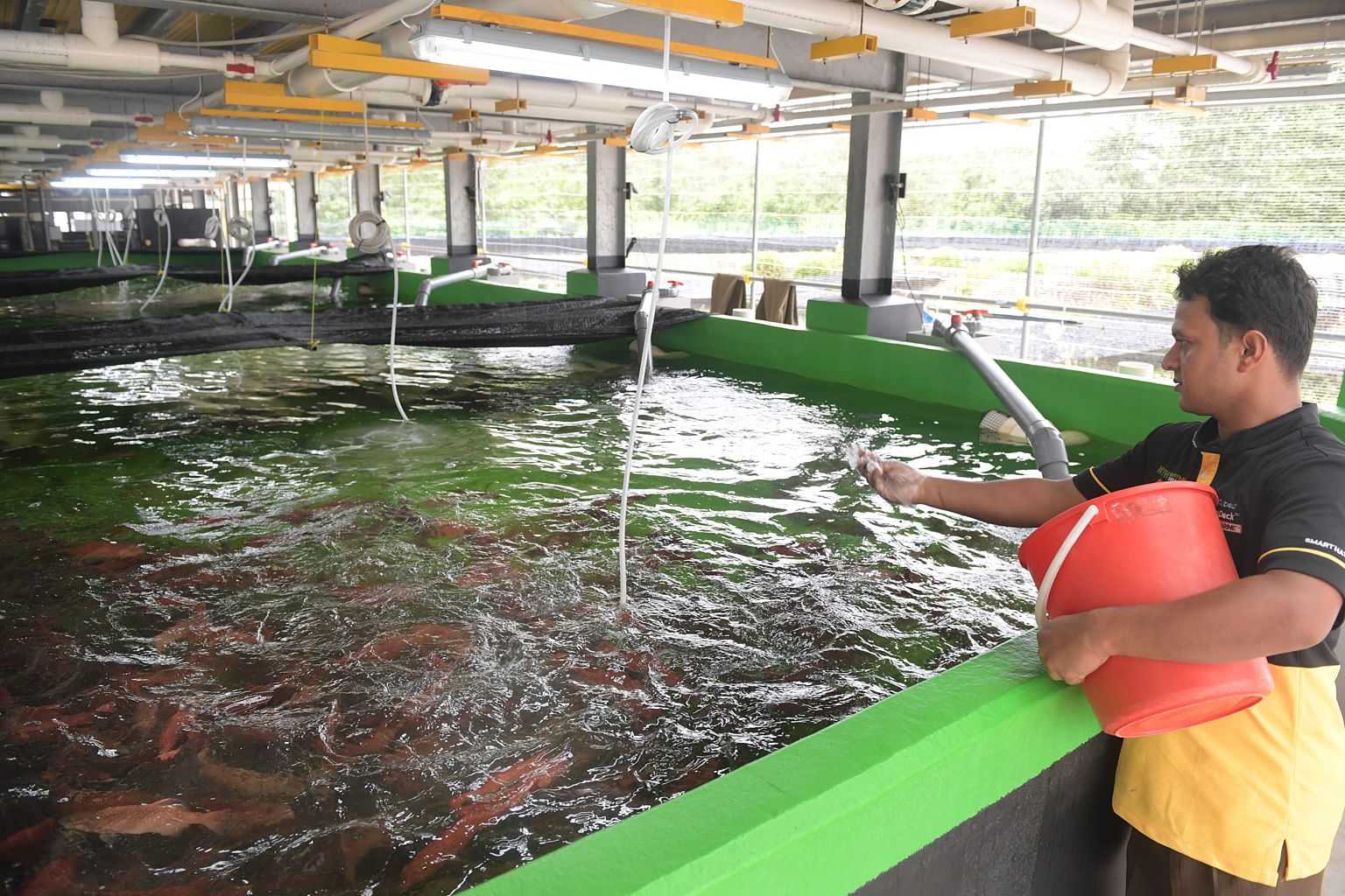 A worker feeding leopard coral trout at Apollo Aquaculture Group's nurseries.