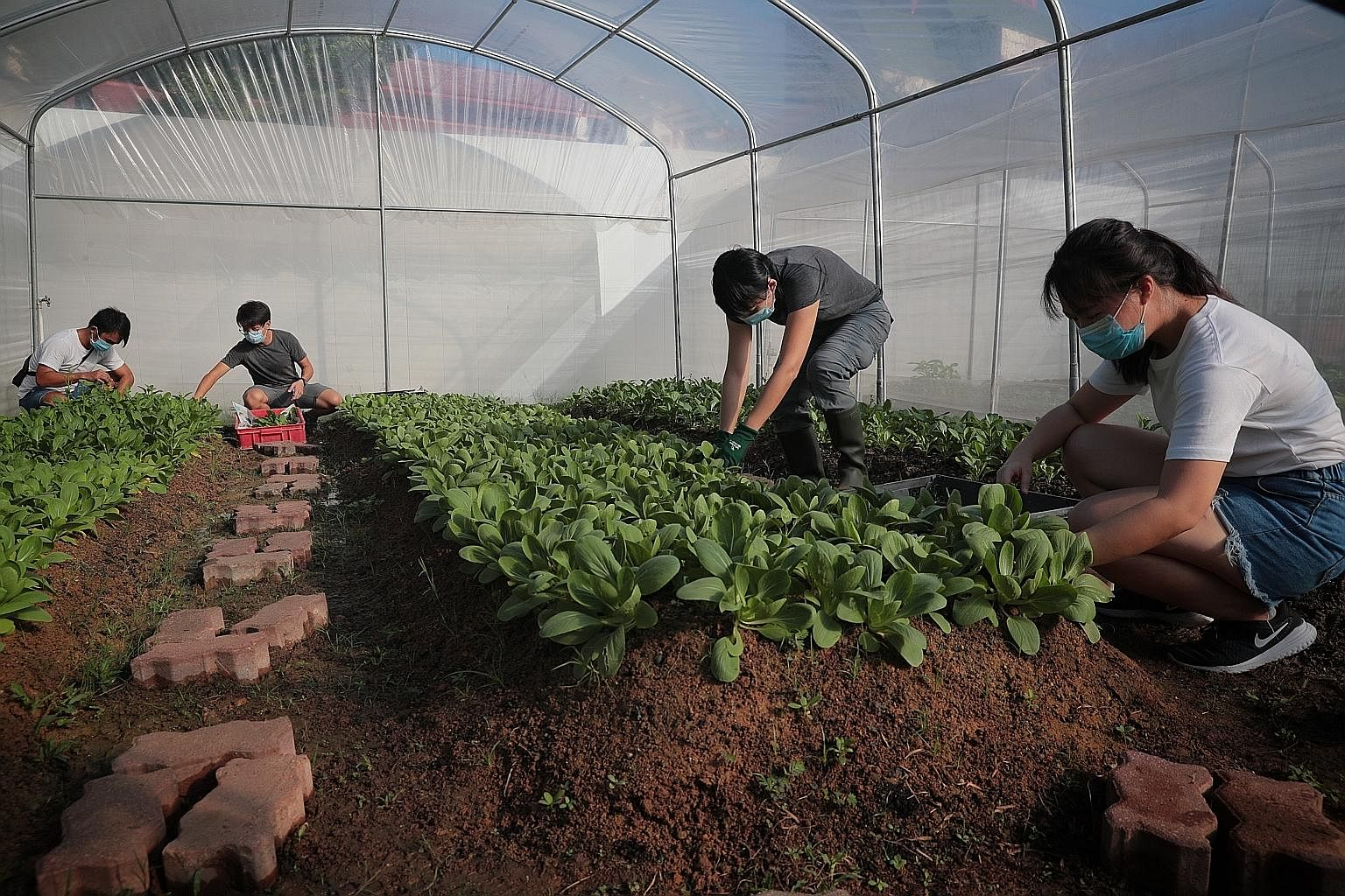 (From far left) Social enterprise City Sprouts co-founders Zac Toh, 28, and Chee Zhi Kin, 26, and their staff Tan Kor Hoon, 48, and Rachel Lee, 21, harvesting vegetables from their urban farm at the former site of Henderson Secondary School in the Bu