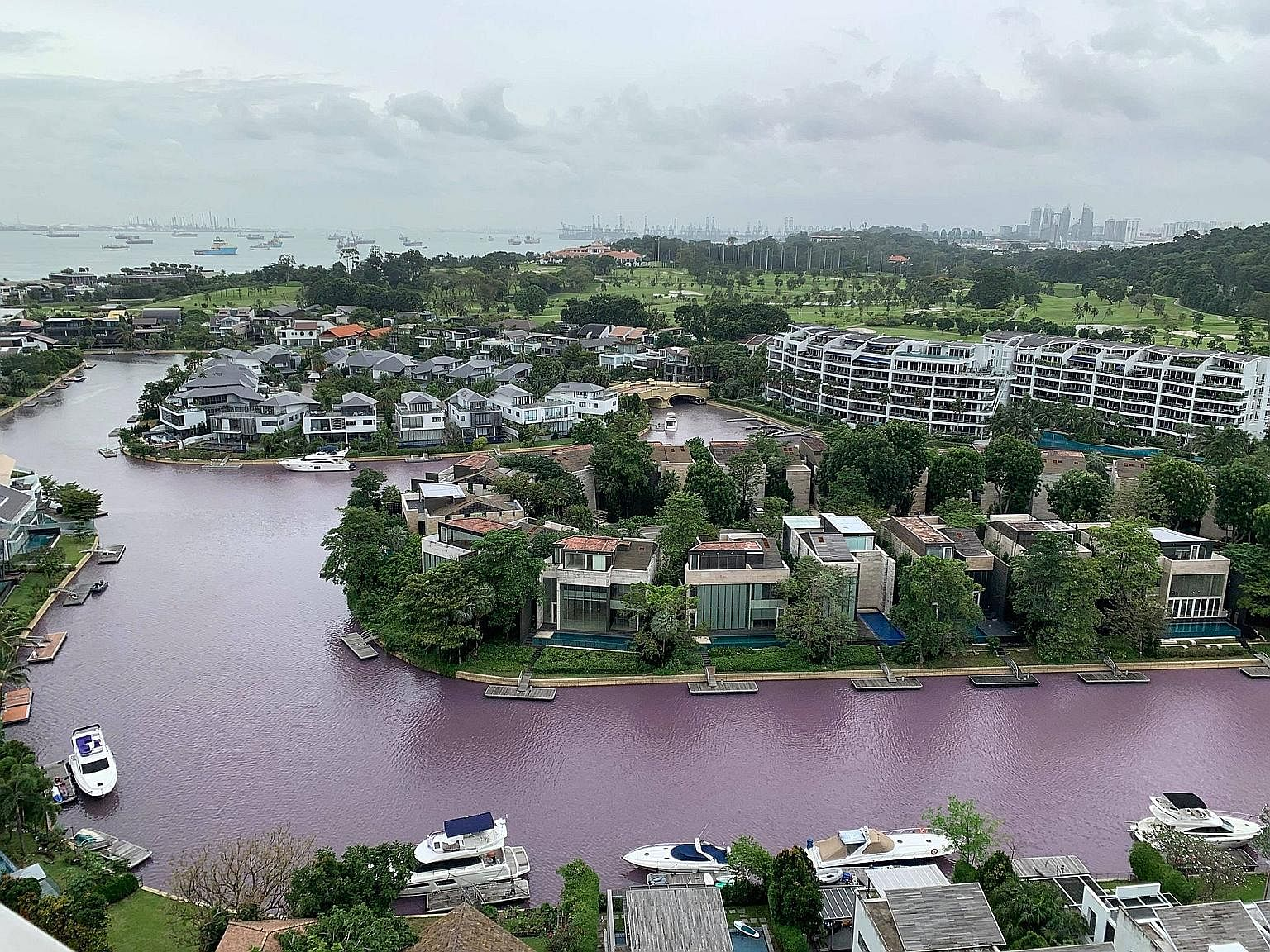 The waterway running through Sentosa South Cove at about 3pm yesterday appeared pinkish-purple. Dr Sandric Leong, senior research fellow at the National University of Singapore's Tropical Marine Science Institute, said the coloured water was caused b