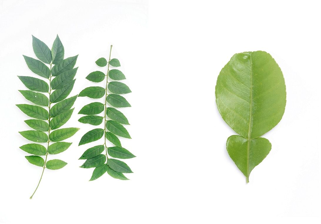 DEMPSEY ROAD Curry leaves are commonly used as flavouring in South Asian cooking. SEMBAWANG ROAD The leaves of a kaffir lime tree have a fragrant lime scent and are used in Thai cooking. The plant is thorny and its fruit has a bumpy exterior. It is also k