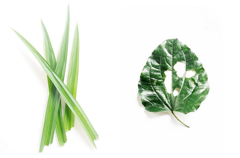 pandan leaves and Wild pepper leaves