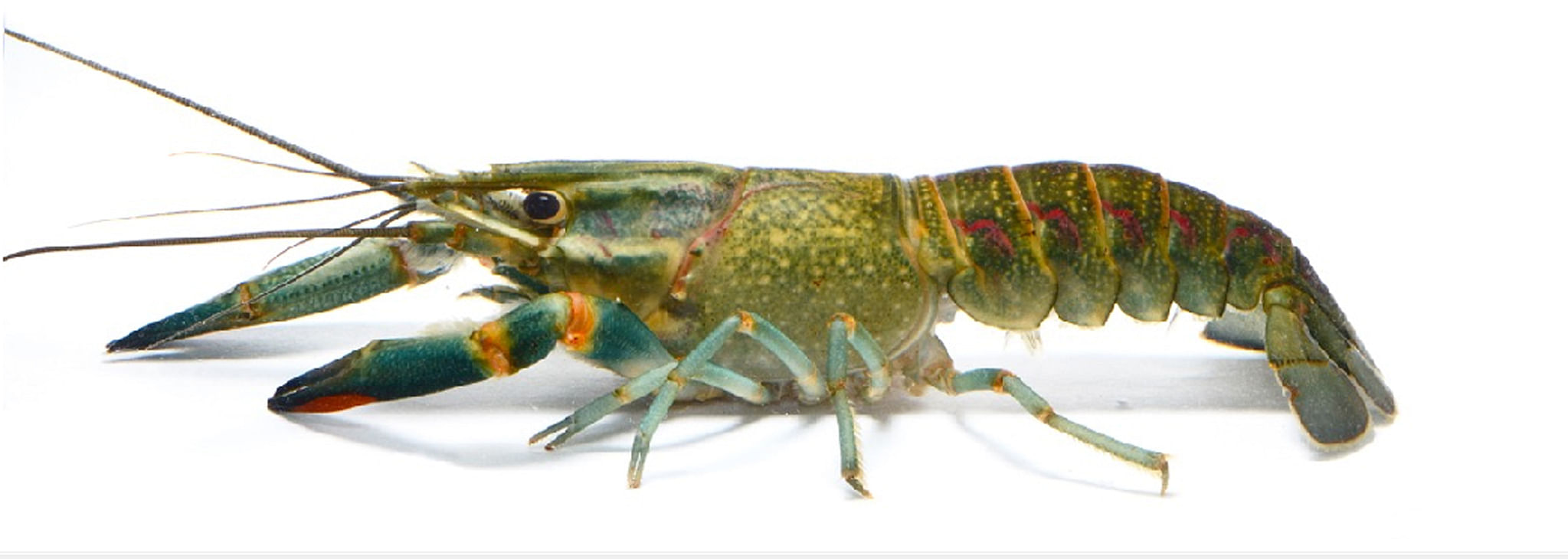 Crayfishes | MDC Discover Nature