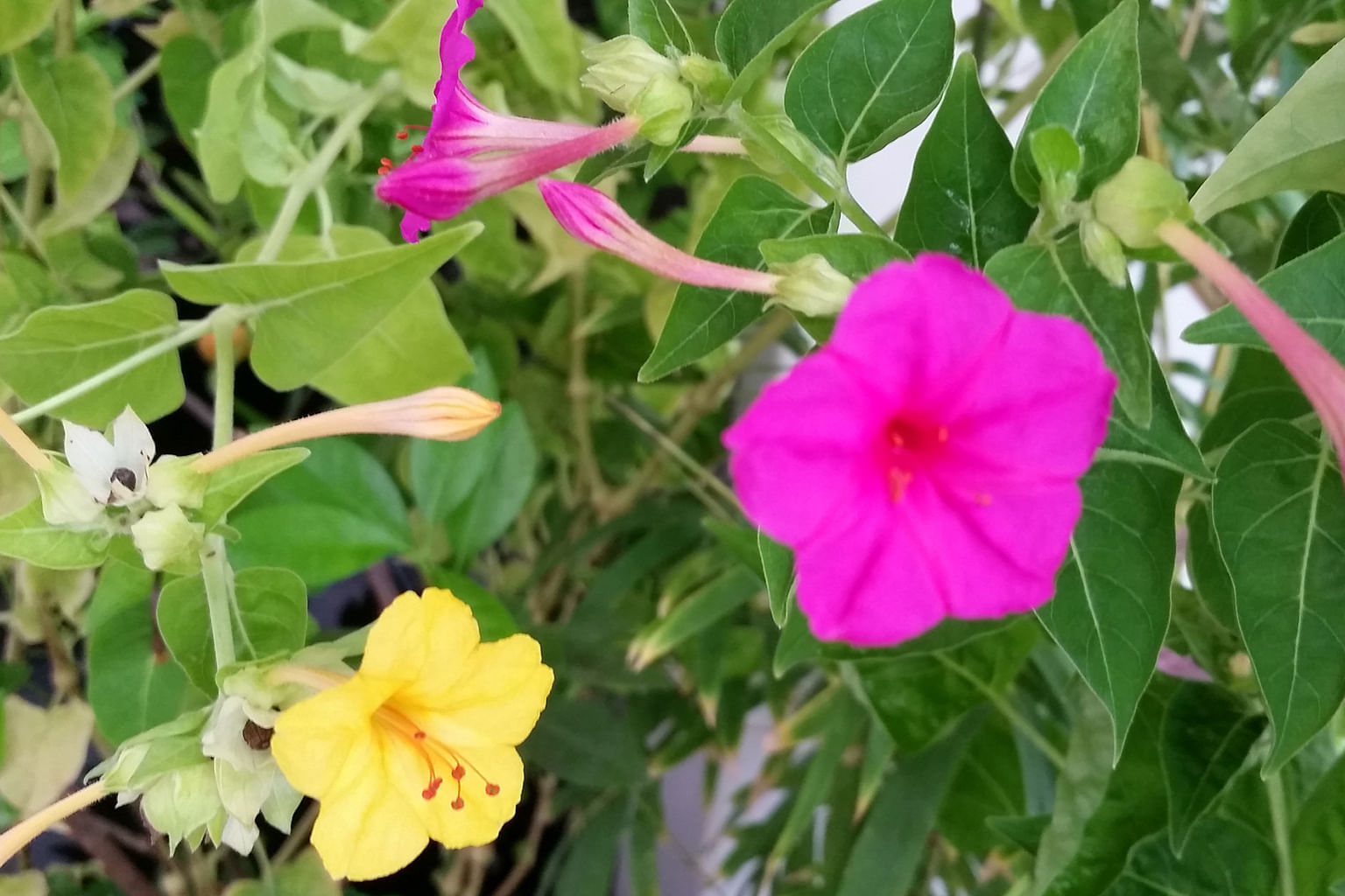 Root Awakening Blooms Of Four Oclock Flower Open Late Home