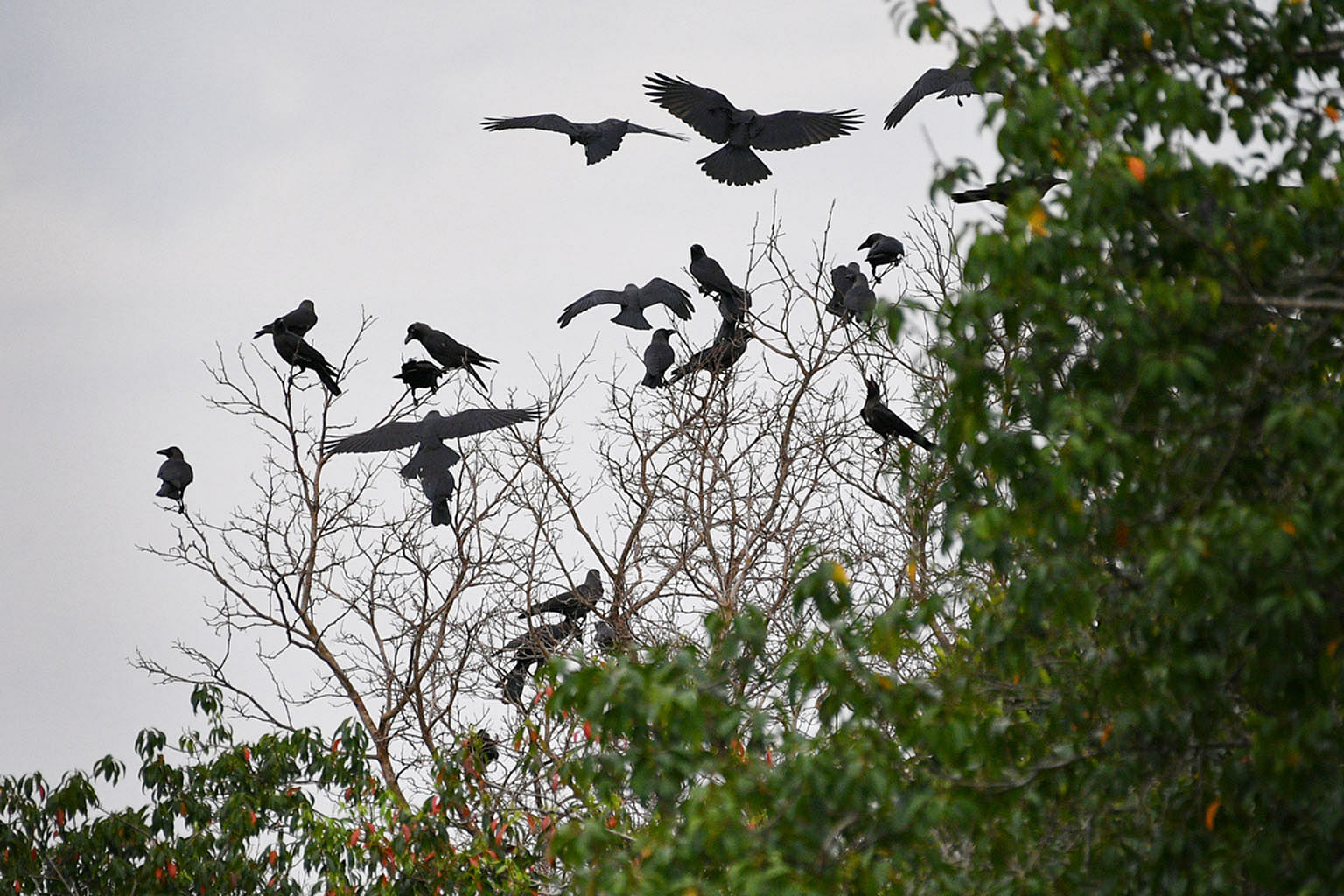 More crows have been seen at Sungei Buloh Wetland Reserve (above).