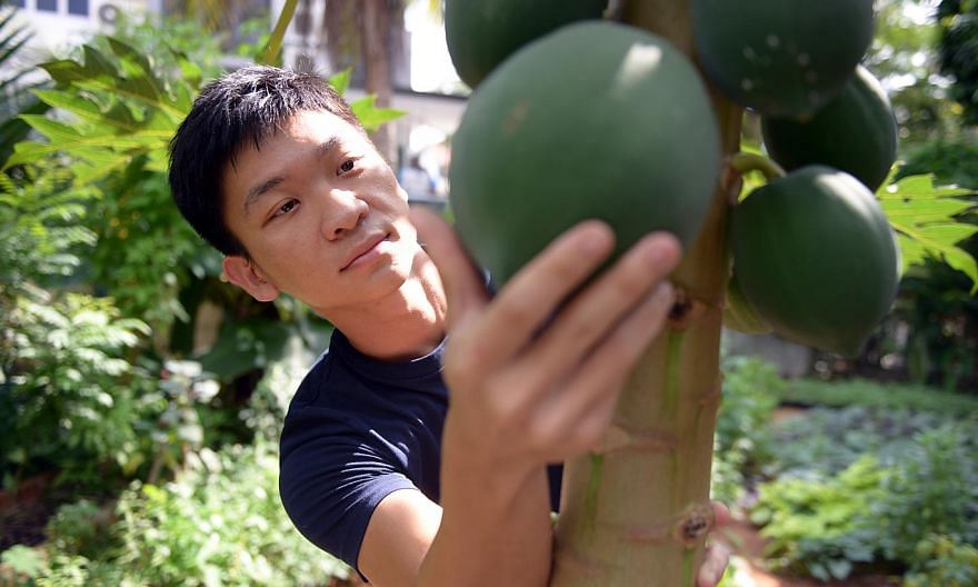 Mr Alexius Yeo, who also grows fruit such as papaya (above) in his garden.