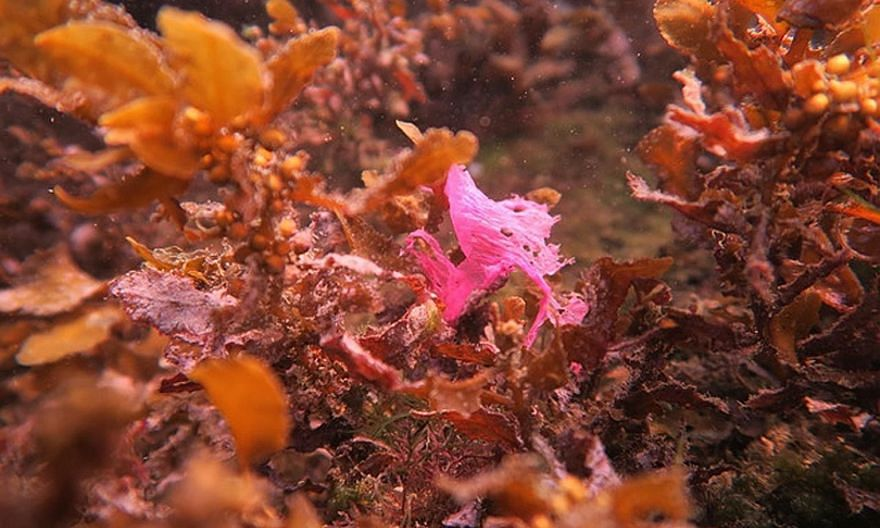 A fragment of a pink plastic bag, which could be easily mistaken by marine animals as red algae, found within a meadow of seaweed. Marine civil society groups in Singapore often organise clean-ups of local waters and shores, as well as help to collec