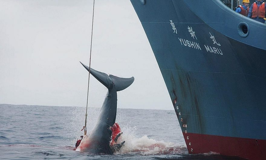 Greenpeace photo showing Japanese whalers injuring a whale with a harpoon in the Southern Ocean in January 2006. It took three more shots to finally kill the injured whale. Come July, Japan will no longer hunt whales in the Antarctic, but will resume