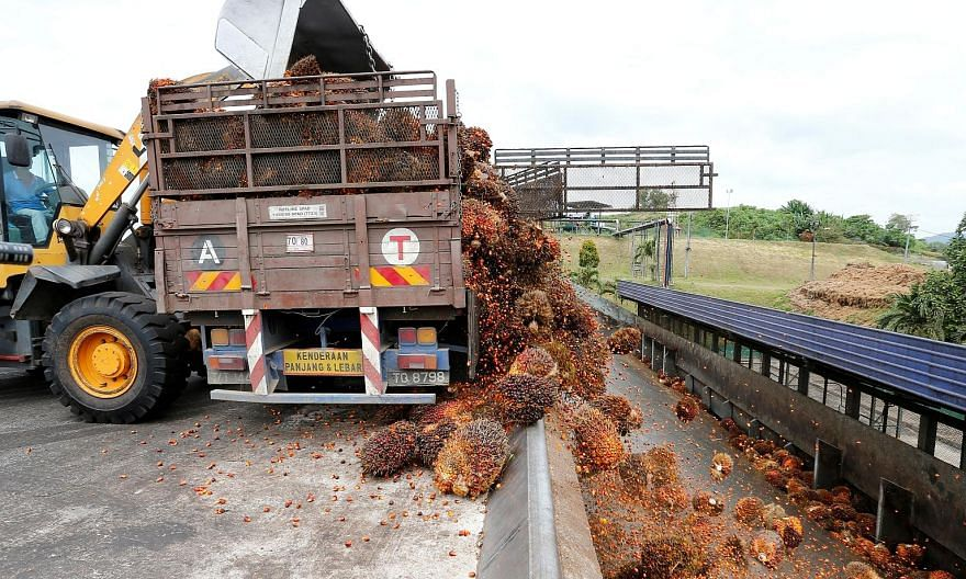 Bunches of palm fruit being unloaded at a mill in Bahau, Negeri Sembilan. Harvested palm fruit must be sent quickly to crushing mills, or it will start to oxidise, reducing the quality of the oil produced.