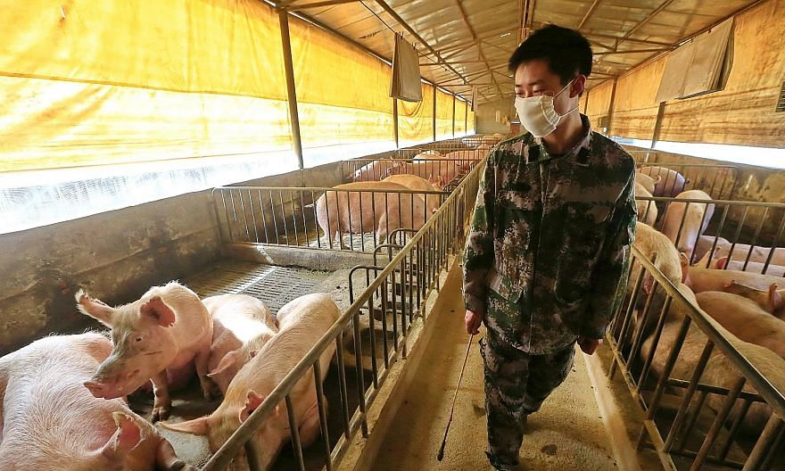 A worker checking the pigs in a pen in Suining, a city in China's Sichuan province, in February. According to blood tests which showed up antibodies created by exposure to the new type of swine flu, 10.4 per cent of swine workers had already been inf