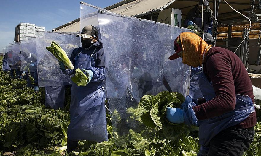 Farm workers harvesting romaine lettuce in Greenfield, California. With the Covid-19 pandemic highlighting the importance of food security, there are potential investment opportunities in areas such as chemicals and fertiliser companies, machinery pr