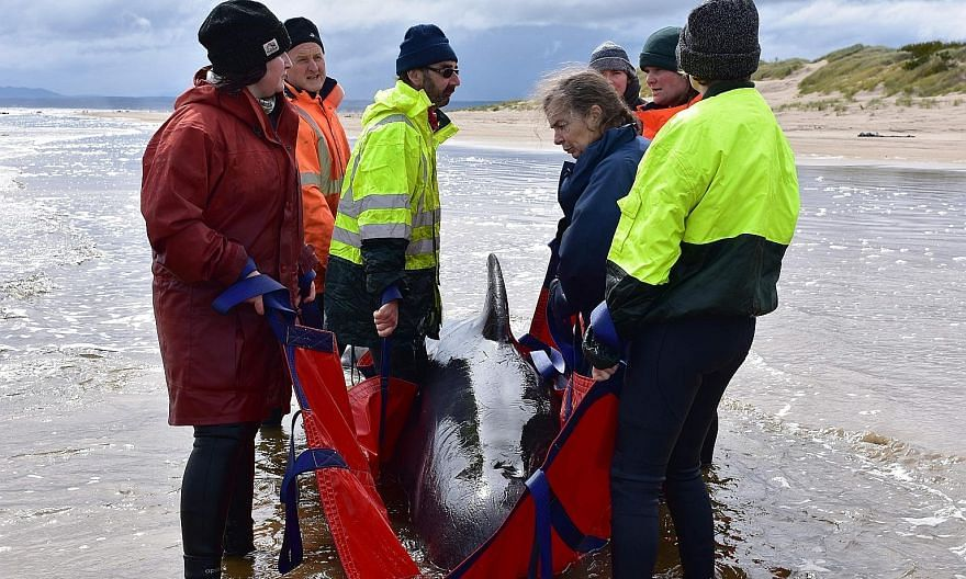 Rescuers working to save a whale on a beach in Macquarie Harbour on the rugged west coast of Tasmania last Friday. With more than 300 carcasses spread across a 10-km area, the Australian authorities have shifted their focus to a mass sea burial, whil