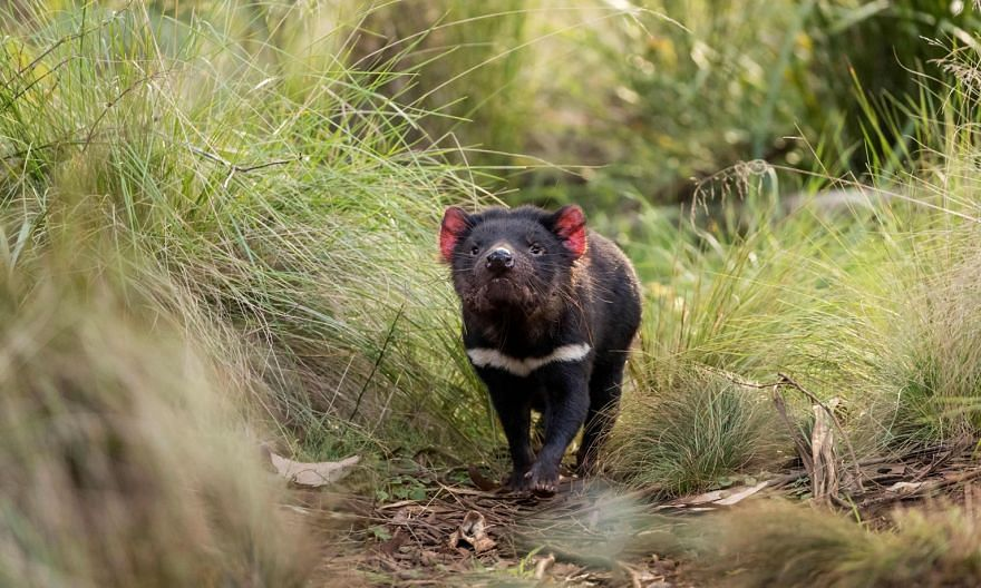 It is estimated that fewer than 25,000 Tasmanian devils still live in the wild, down from as many as 150,000 before a mysterious, fatal disease first struck in the mid-1990s.