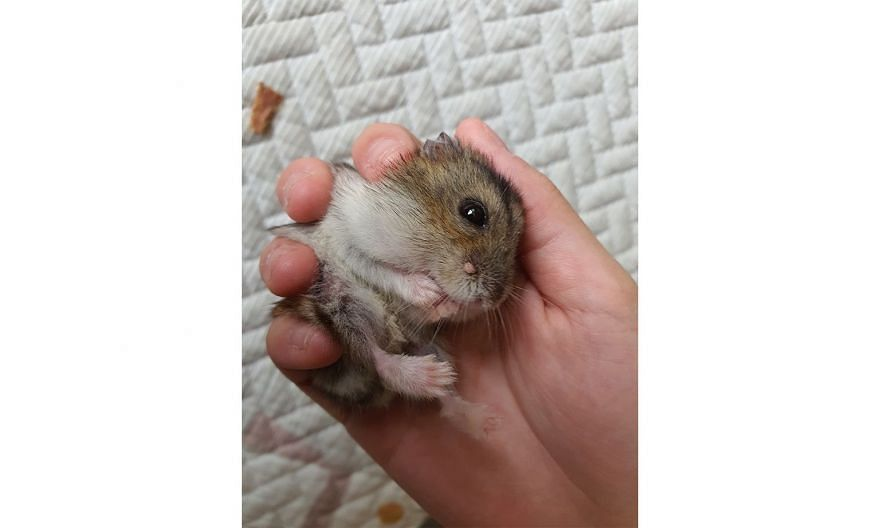 Lump growing on hamster's face