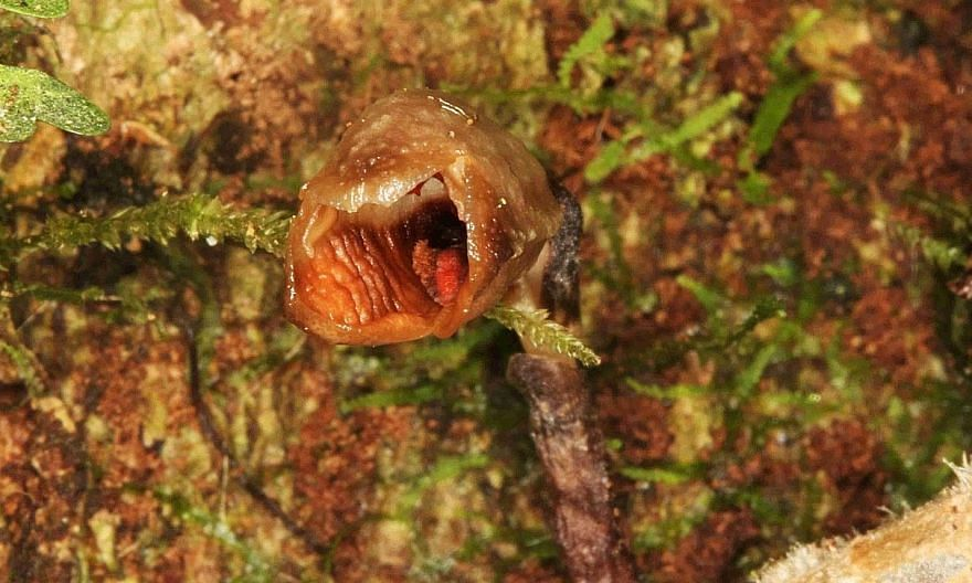 """The flowers of the Gastrodia agnicellus have been described as """"small, brown and rather ugly"""" by Kew scientists. PHOTO: REUTERS"""
