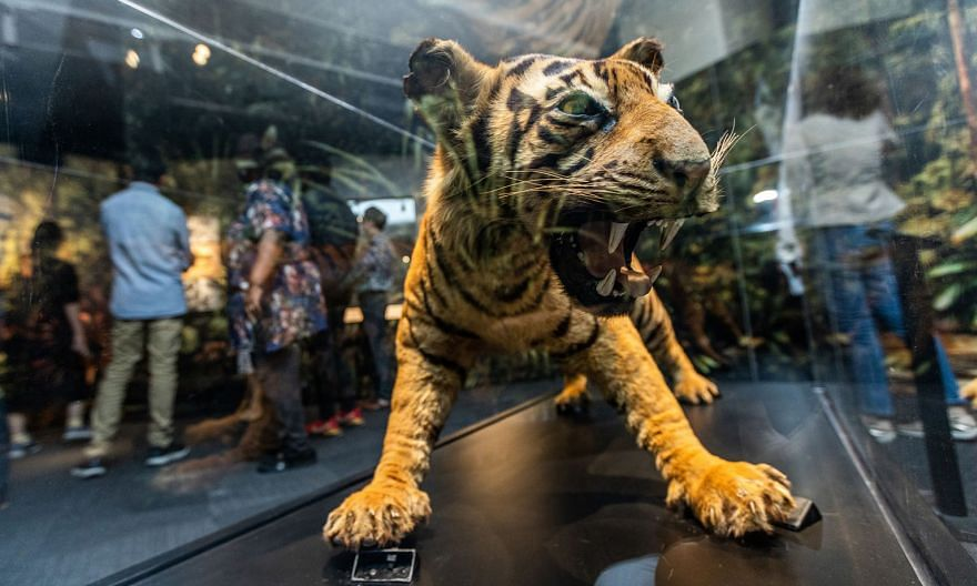 A tiger specimen on display at the Human x Nature exhibition at the National Library Building. The exhibition, which explores Singapore's relationships with the natural world, is on till Sept 26.
