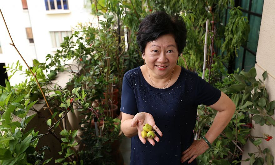 To make rosemary thrive, Mr Alexius Yeo (left) uses soil comprising sand and pumice rock. Mr Alex Ng (left) makes his grapes, grown in an HDB corridor, flower and fruit by pruning them. Summer Fong, 11, with the strawberry plant that she and her moth